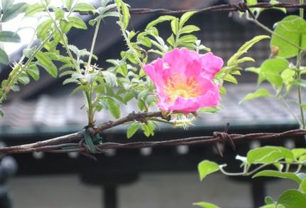 Obonrose