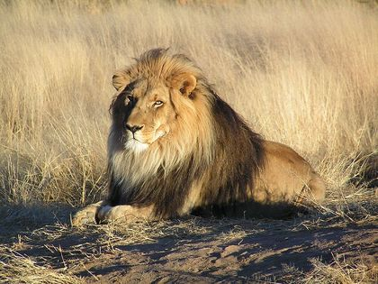800pxlion_waiting_in_nambia