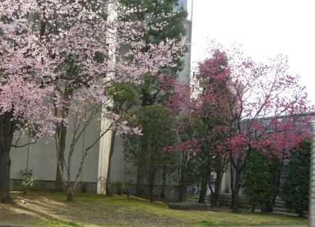 Sakuraumetreejpg