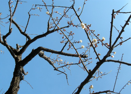 Early_ume_tree