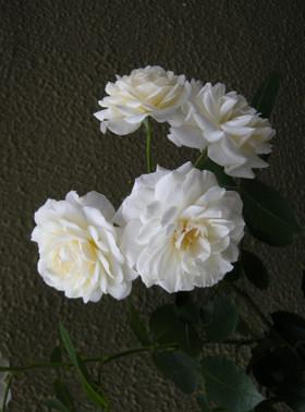 White_roses40jpg