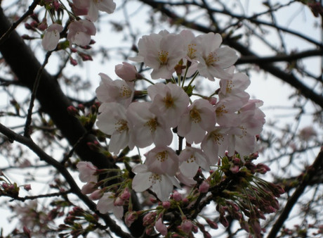 Sakura_12_jpg