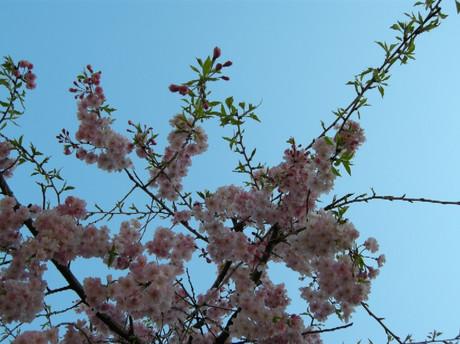 Sakura2012jpg