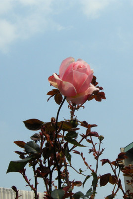 Rose_in_the_skyjpg
